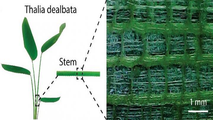 A plant stem inspired researchers to develop a new, versatile aerogel for possible use in bendable devices. (Source: American Chemical Society)
