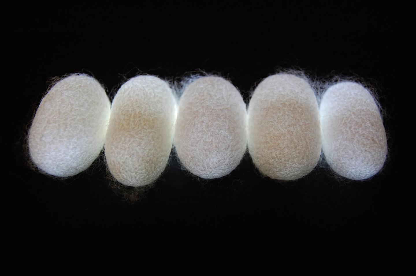 "New research suggests fibers from a silkworm's cocoon may represent ""natural metamaterials,"" a discovery with various technological and scientific implications. Source: Purdue University image/Young Kim"