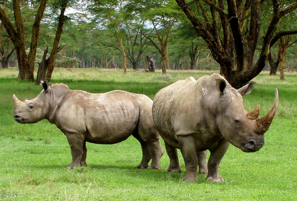 539 rhinos were poached in 2017 (Pixabay)