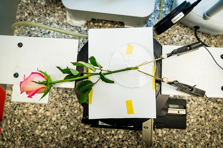 A rose that has been modified to store energy at the same magnitude as a supercapacitor. Source: Linköping University