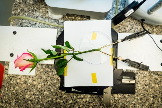 A supercapacitor rose from the Laboratory of Organic Electronics,  Linköping University. Credit: Thor Balkhed