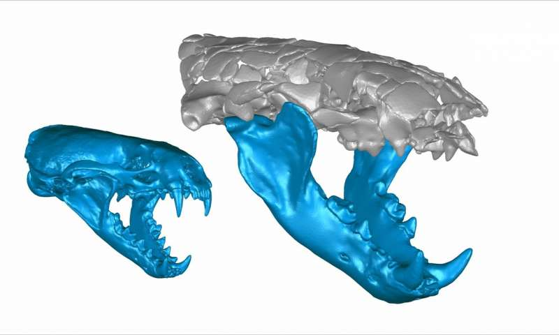Digital, 3D reconstructions show the skulls — including the jaws — of the roughly 15-pound common otter Lutra lutra (left), and the roughly 110-pound Siamogale melilutra, a giant prehistoric otter with a surprisingly powerful bite (right). Source: Z. Jack Tseng
