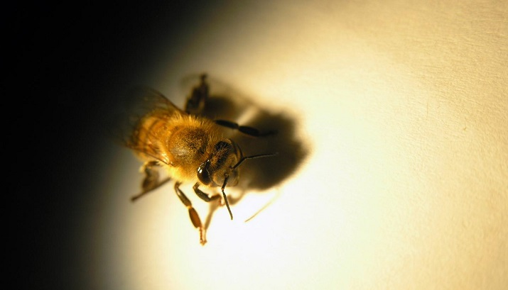 Studying honey bee vision may potentially improve the work to enable robotic vision. Image credit: University of Adelaide