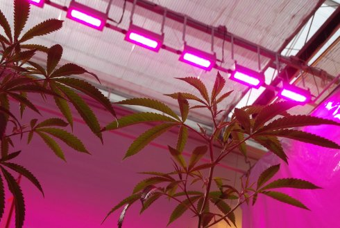 Medicinal cannabis grown under high levels of LED lighting grew better and with more medicinal properties than that grown under traditional greenhouse methods. Source: Wageningen University & Research