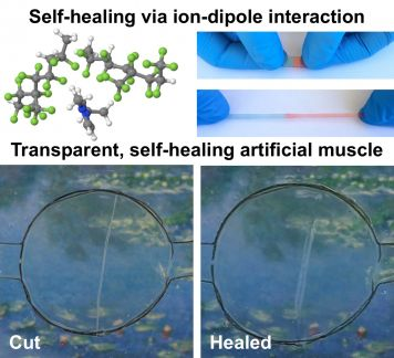The artificial muscle heals itself completely within just 24 hours.
