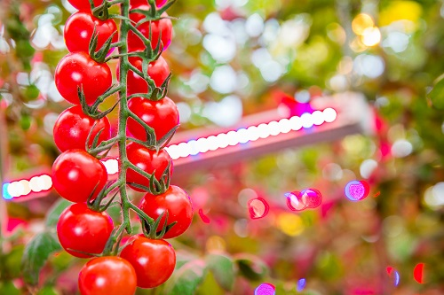LLC Argo-Invest's greenhouses grow more than 15 varieties of vegetables including tomatoes that will benefit from LED lighting. (Source: Philips Lighting)